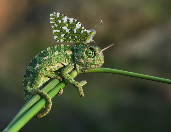 Chameleon-&-Butterfly-Macro-Photography