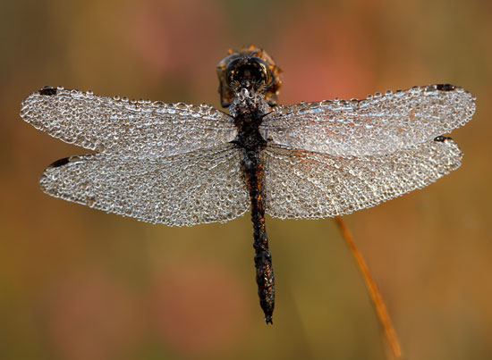 Dragon-Fly-Macro-Photography
