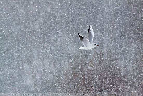Gull-Million-Flakes-Nature-Photography