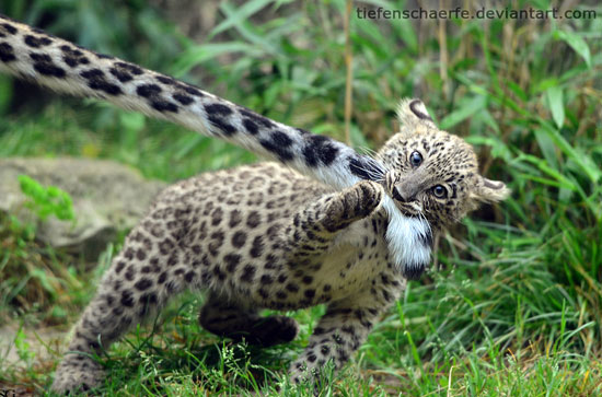 Persian-Leopard-Nature-Photography