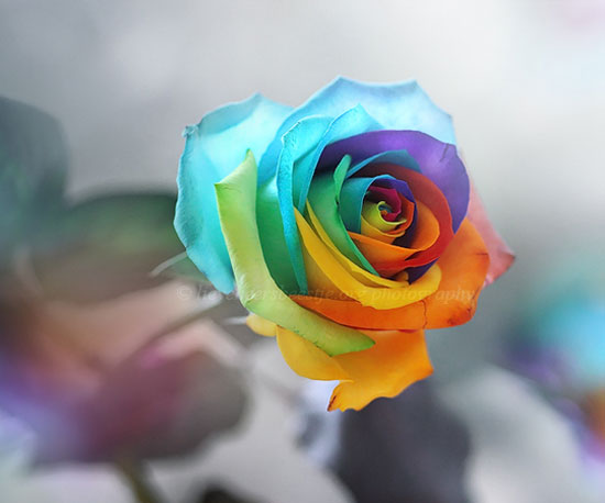 Rainbow-Rose-Flower-Macro-Photography