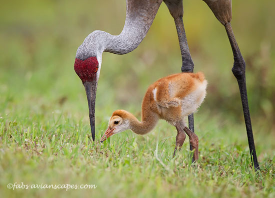 Sandhill-Crane-Colt-Melbourne-Florida-Nature-Photography
