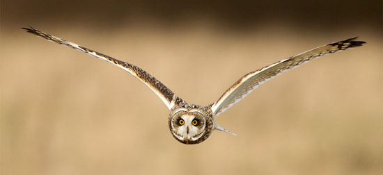 Short-Eared-Owl-Photography