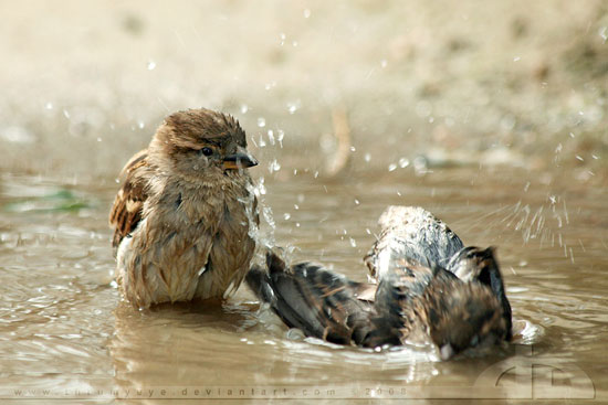 Sparrows-Nature-Photography