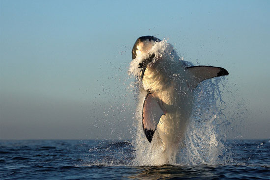 White-Shark-Hunting-Nature-Photography