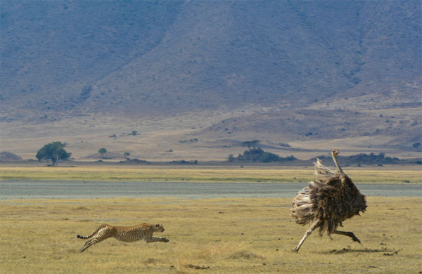 Cheetah-Hunting-Ostrich-Photography