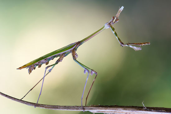 Dancing-Queen-mantis-macro-photography