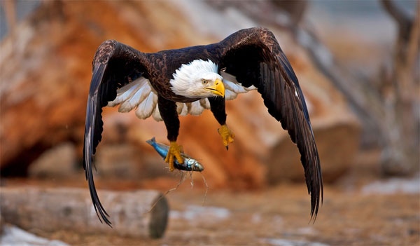 Eagle-catching-fish-photography