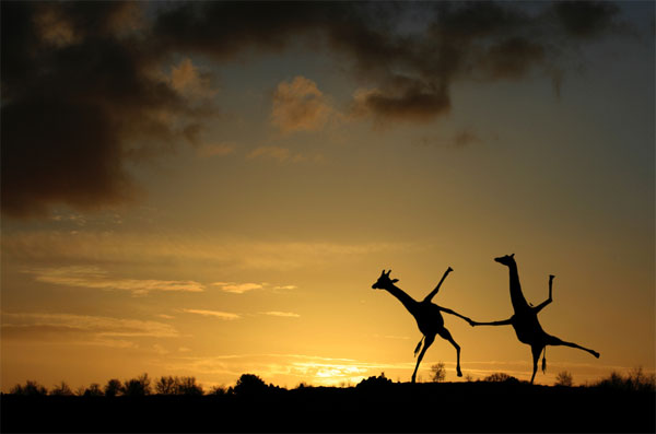 Happy-Dancing-Giraffes-Stunning-Photography