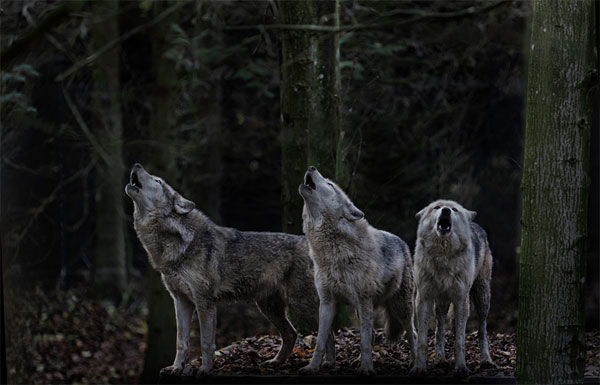 Howling-wolves-photography