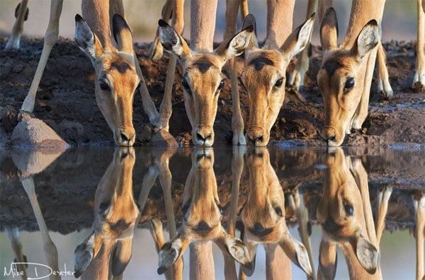 Impala-Drinking-Water