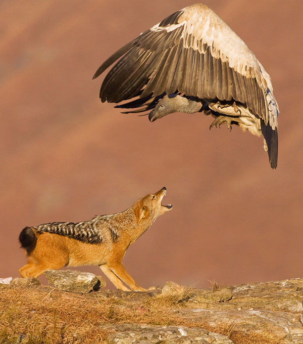 Jackal-&-Vulture-Photography