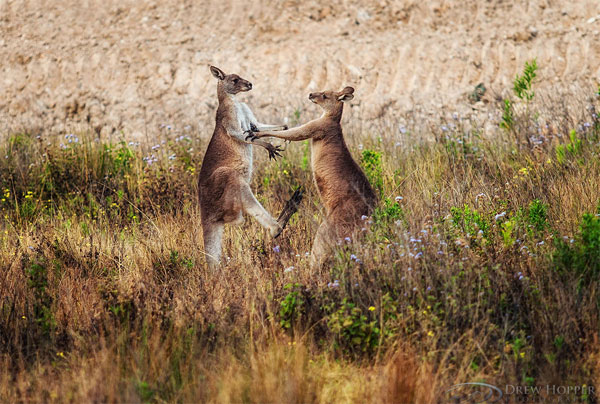 Kangaroos-in-australia-photography