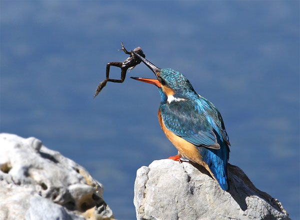 King Fisher becoming king frogger Great Tips For Beginners Who Want Great Wildlife Photographer