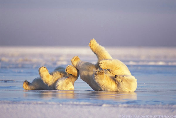 Polar Bears Rolling Great Tips For Beginners Who Want Great Wildlife Photographer