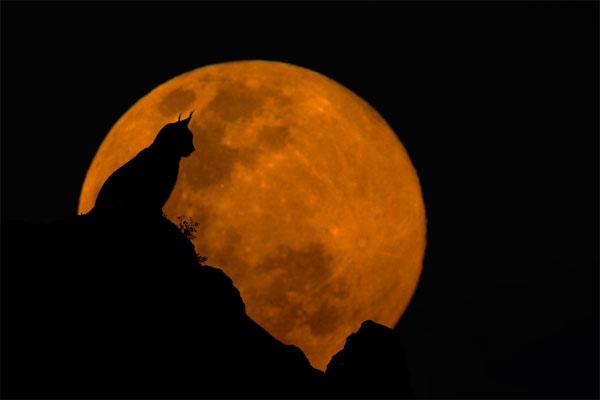 The-Lynx-&-The-Moon
