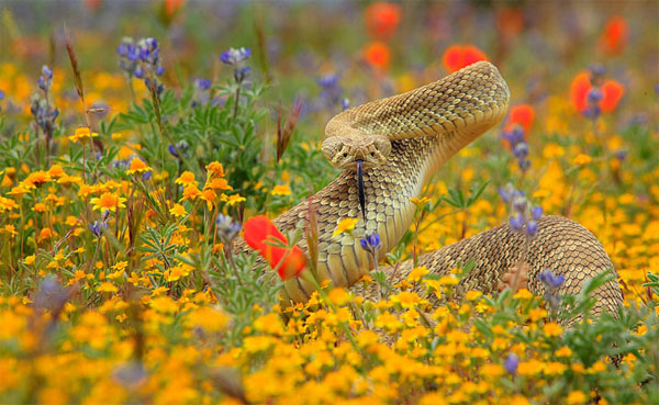 Rattle-Snake-Photography