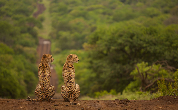 beautiful cheetah photography Great Tips For Beginners Who Want Great Wildlife Photographer
