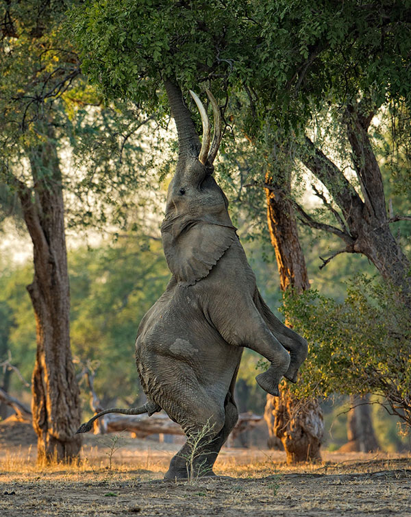 height-of-hunger-elephant-photography