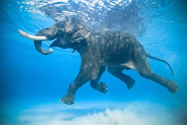 underwater elephant photography Great Tips For Beginners Who Want Great Wildlife Photographer