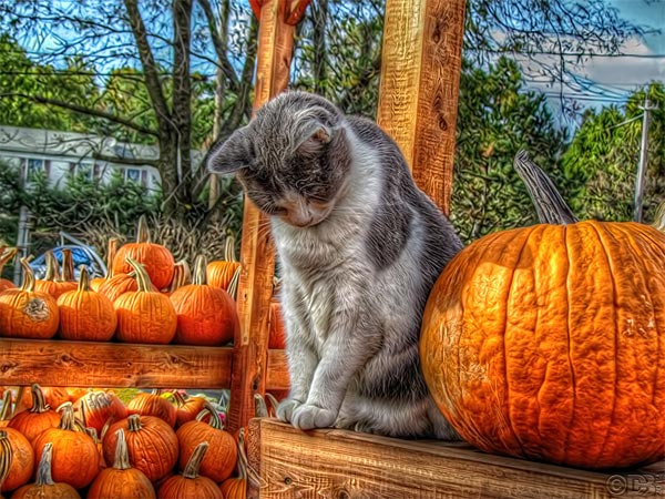 the-pumpkin-guard-cat-hdr-photography