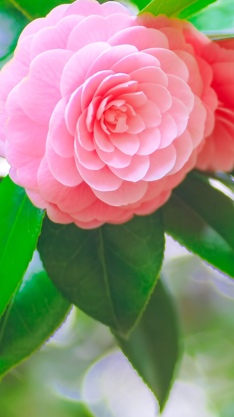 40 Best iPhone 6 Wallpapers  for Green And Pink Flower Wallpaper  584dqh