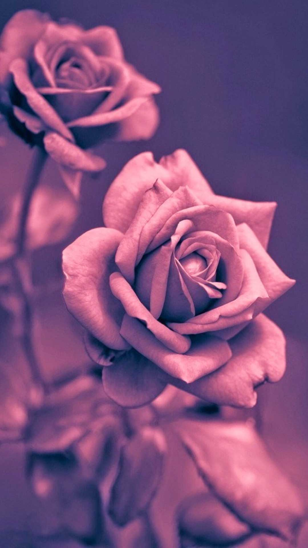 beautiful-rose-iphone-7-plus-wallpaper