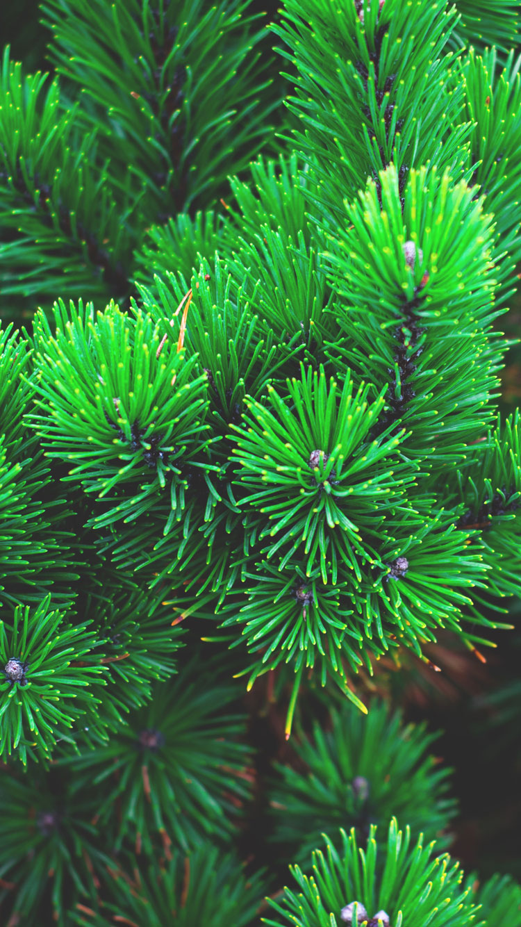 Pine-Tree-iPhone-7-Wallpaper-HD