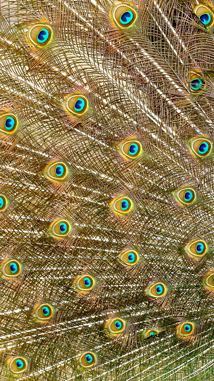 peacock-iPhone-7-Wallpaper-HD