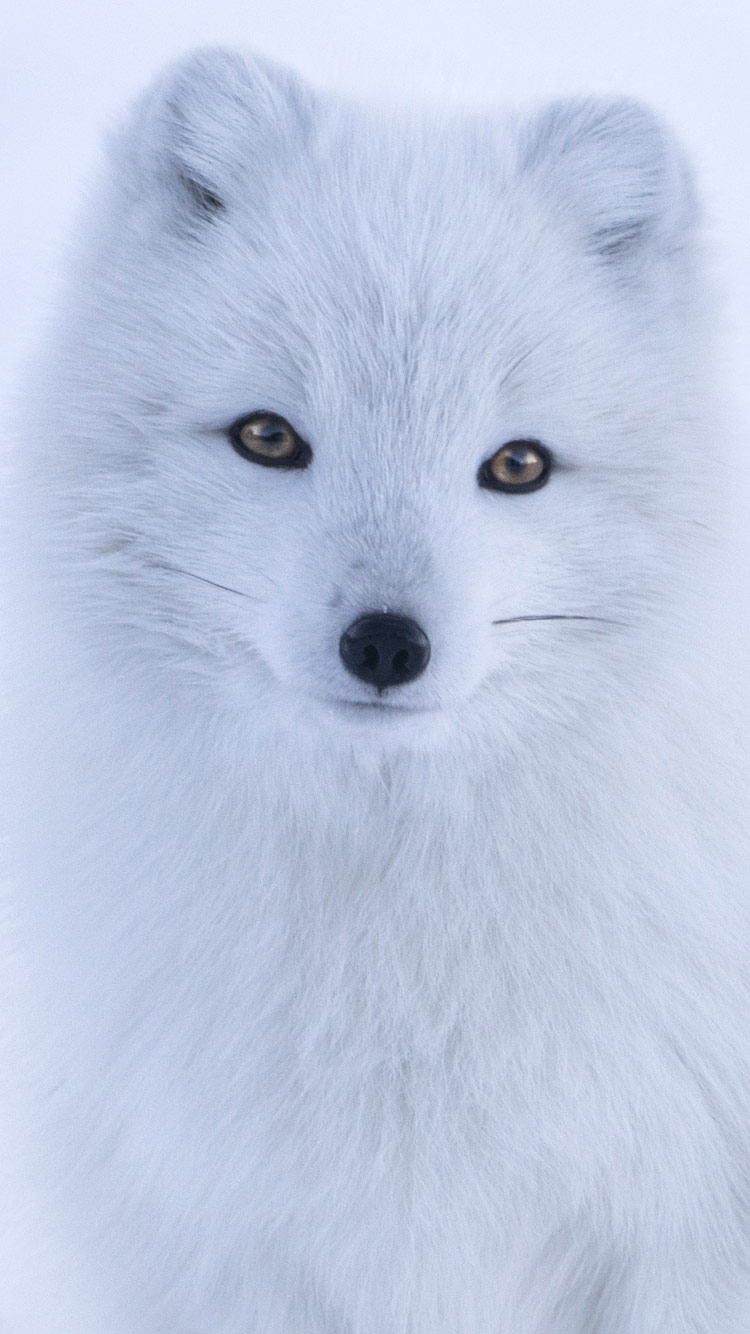 Fox iPhone 7 Wallpaper