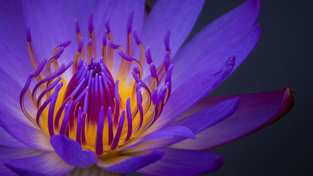 Lily-Flower-Laptop-HD-WallPaper-1920-x-1080-px