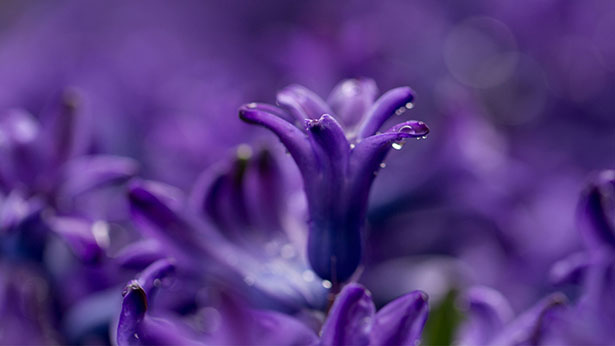 Purple-Flower-Laptop-HD-WallPaper-1920-x-1080-px