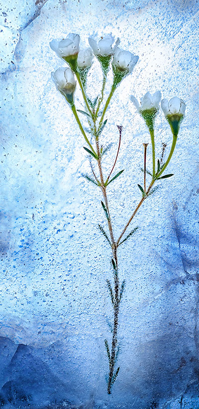 Frozen-Flowers-S9-&-S9-Plus-Background