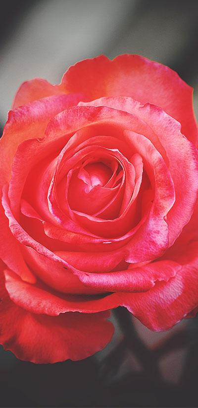 Red-Rose-S9-&-S9-Plus-Wallpaper