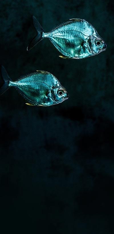 Blue-Fish-Google-2-XL-&-3-XL-Wallpaper