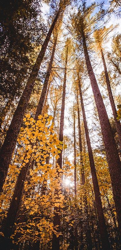 Forest-Trees-Google-2-XL-&-3-XL-Wallpaper