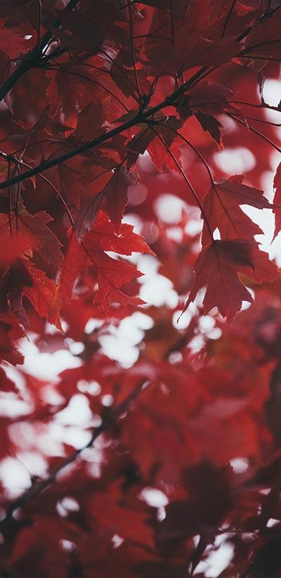 Red-Leaves-Google-2-XL-&-3-XL-Wallpaper