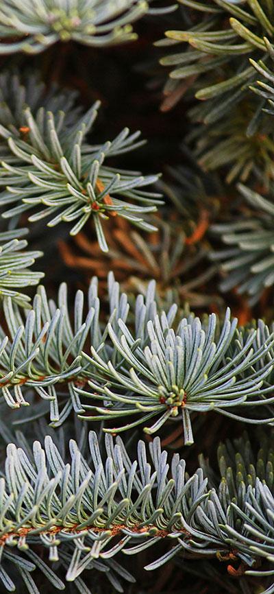Christmas-Pine-Tree-iPhone-Xs-Max-Wallpaepr